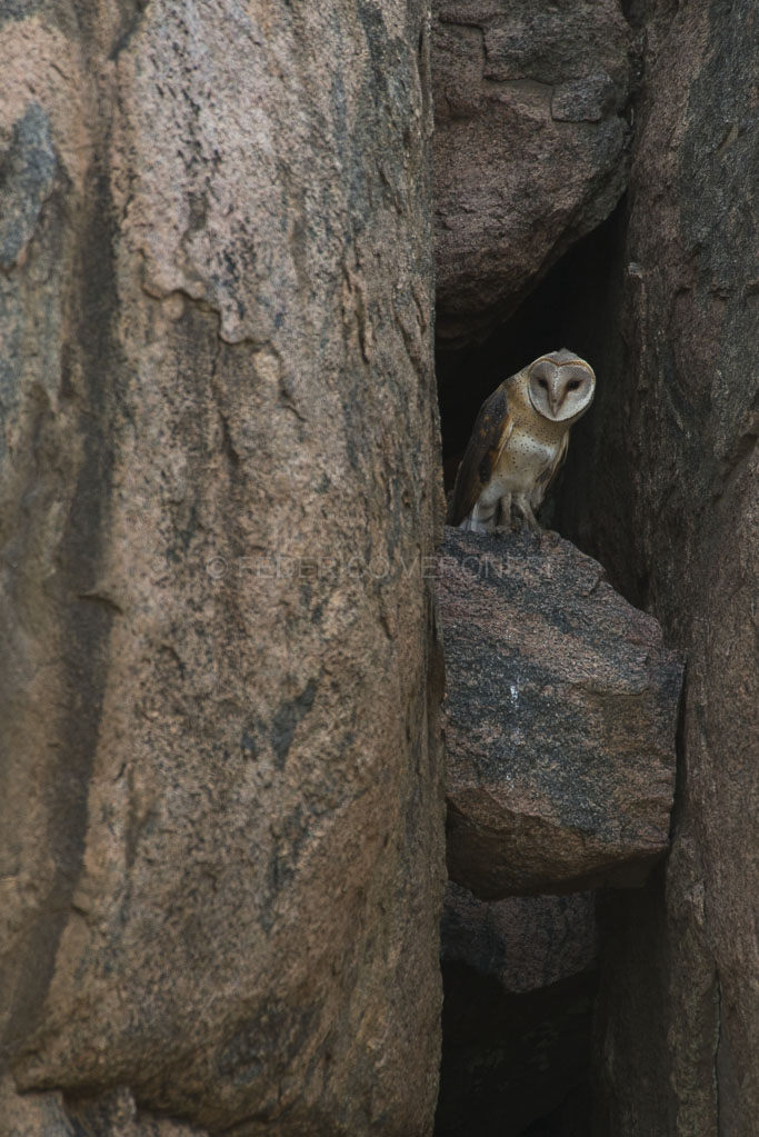 Barn-owl_Serengeti_Tanzania-photo-safari