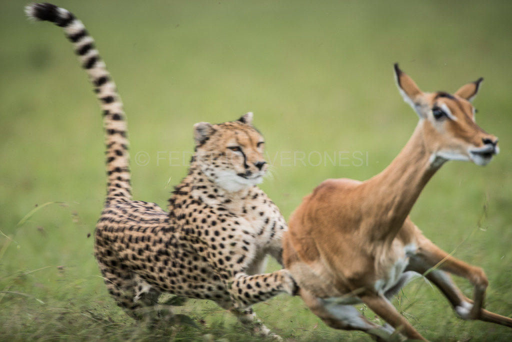 Cheetah_hunting_impala-photo-safari_Masai_Mara_