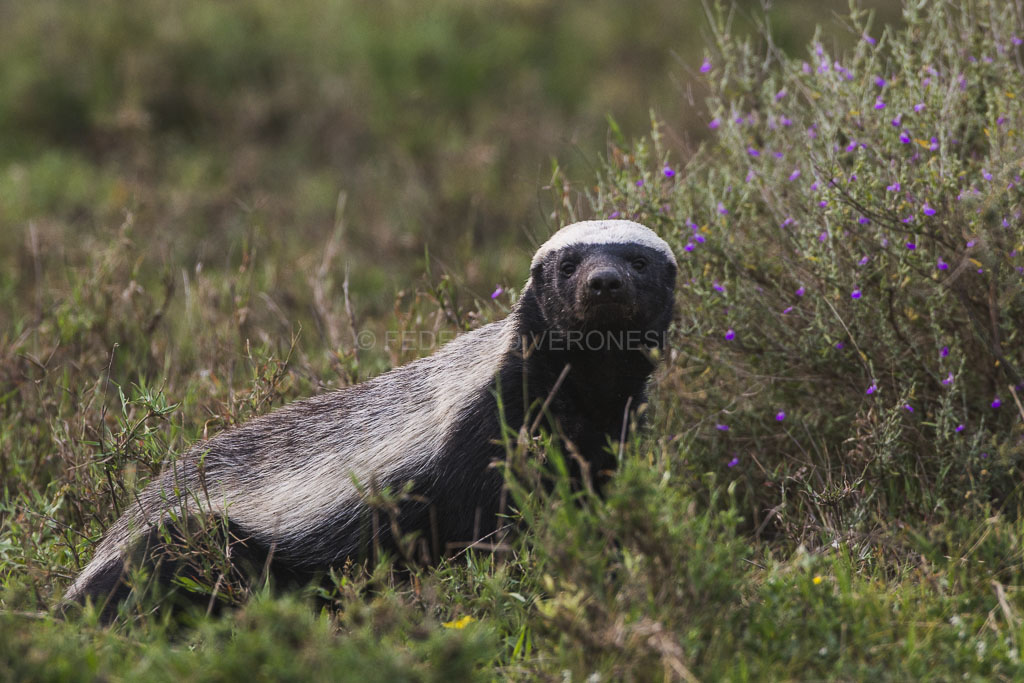 Honey_Badger_photo-safari_Tanzania_Serengeti_Ndutu