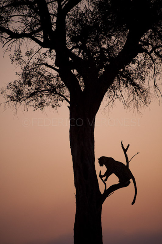 Leopard Olive silhouetted on tree at dusk