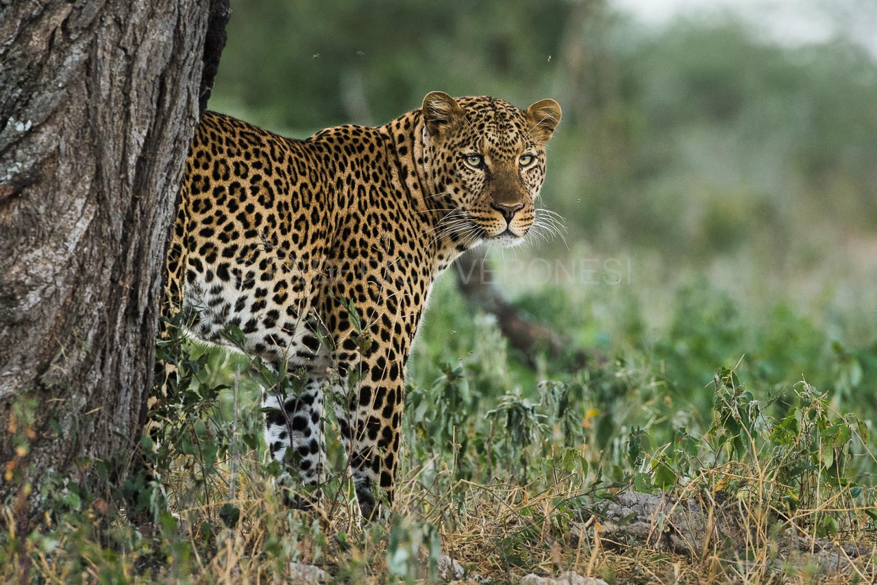 Leopard_Ndutu_Serengeti_photo-safari_Tanzania