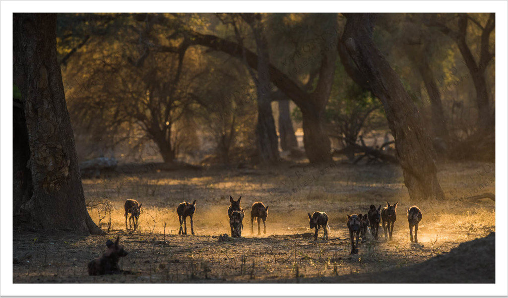 WILD DOGS PACK ADVANCING, Mana Pools, 2015