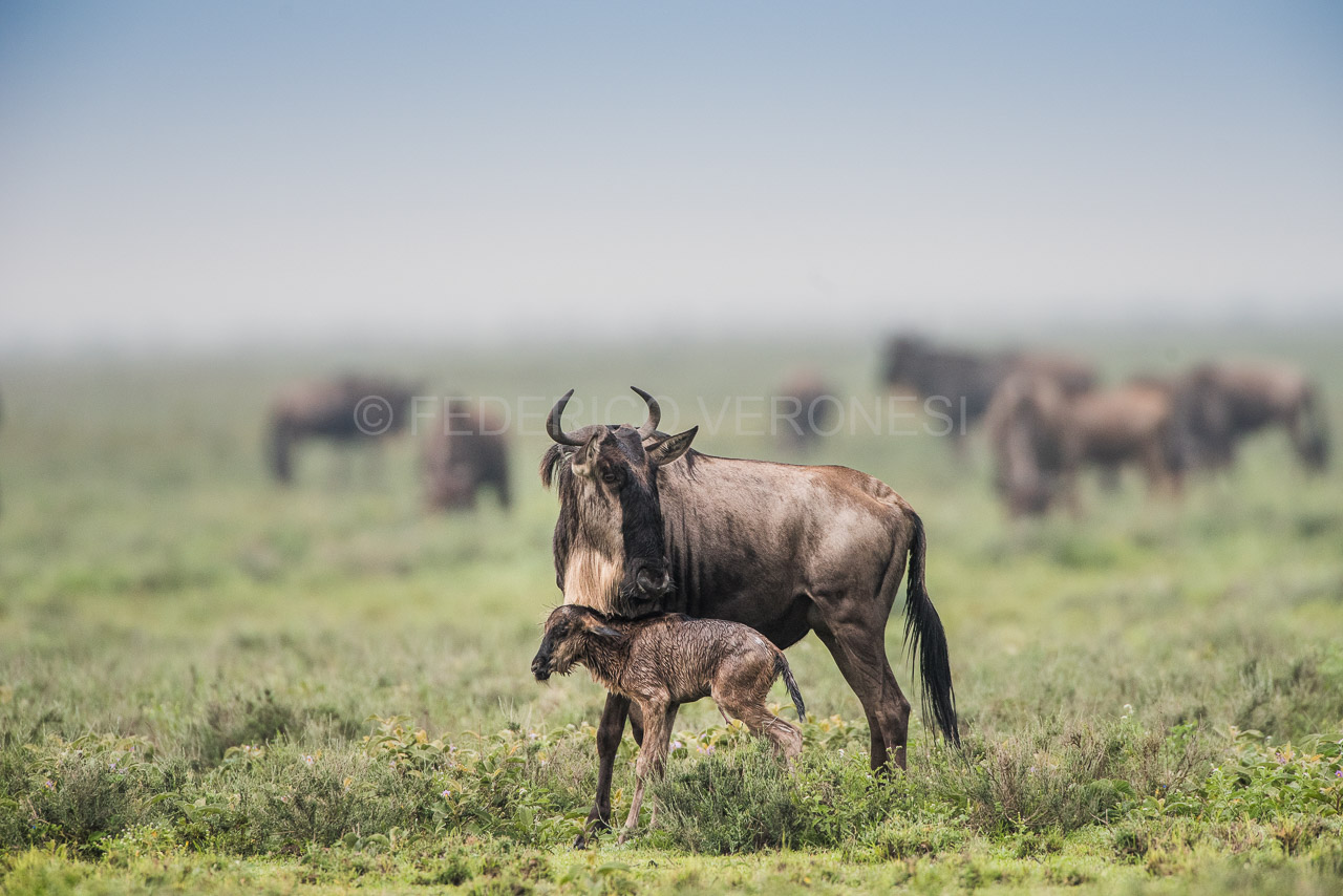Wildebeest_calving_photo-safari