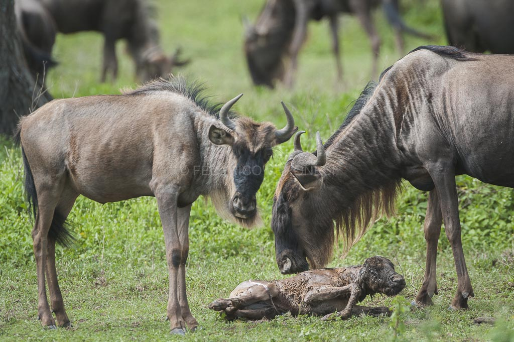 Wildebeest_delivery_photo-safari_Tanzania_Serengeti_Ndutu