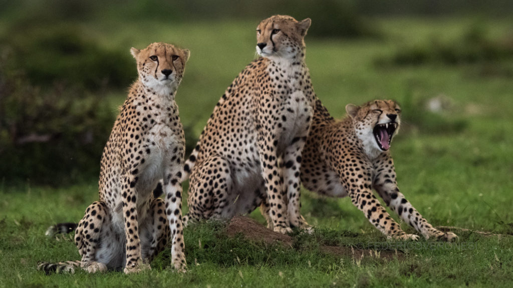 african_wildlife_photo_safaris_Masai-Mara-NR_Kenya